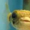 pufferfish userpic