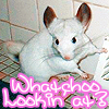 "my chinchilla - Frost ""whatchoo lookin'"
