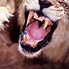 Lion -- Angry