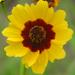 coriopsis userpic