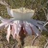 Cereus, Desert