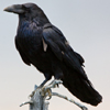 sitting raven