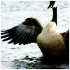 Flapping Goose