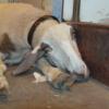 Овца, устал