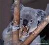 killer_koala