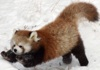 red panda playful