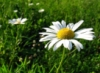 camomile_field userpic
