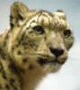 snowleopard mom