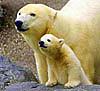 Большая медведица и Умка