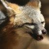 grayfoxwolf userpic
