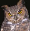owl annoyed