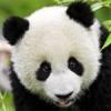 Medved Pando