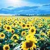 [ sunflowers ]
