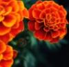 marigold_dreams