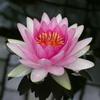 lotos flaver