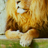 un >> i wanna be a lion