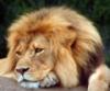 lion bored
