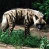 Striped_Hyena_1