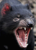 tasmanian, angry