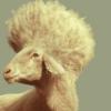 овца с причей
