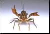 funny_crayfish