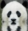 панда, вода
