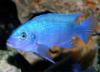 рыбка, майландия