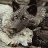 the_bare_wolf userpic