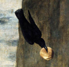 Пикирующий ворон