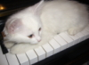 кот на клавишах