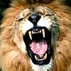 yawn-lion