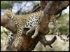 pic#81379609leopopard