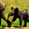 baby elephant tagging behind mom