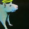 saint rat