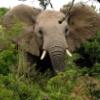 bushphant