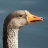 Douglas Triggs: odd goose