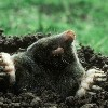a mole without a goal
