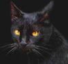 кот, черный