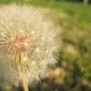 ~chrizzpo~: dandelion