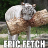 tiger, fetch