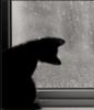 кошка черная и дождь