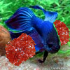 pompoms fish