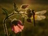 стрекозоид на цветке