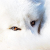 snowdrop_fox userpic