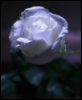 Moonlit Rose