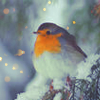 Birds: Robin (Winter)