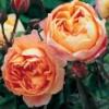 SaffronRose: Lady Emma Hamilton rose