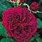 SaffronRose: Prospero rose