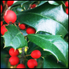 bright holly