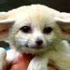 Kryptonite: fennec pup